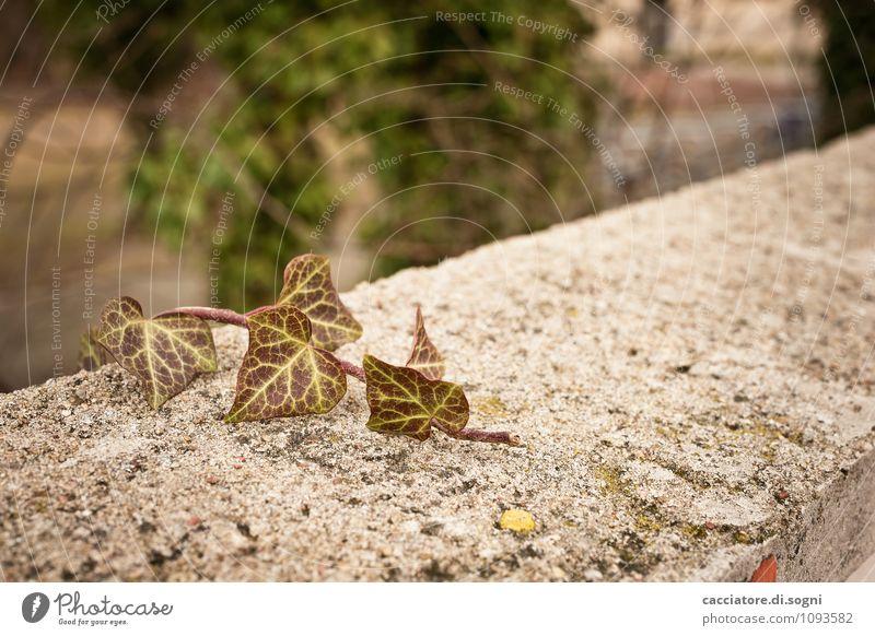 Und endlich ganz oben Umwelt Herbst Schönes Wetter Pflanze Efeu Grünpflanze Wildpflanze Garten Park Mauer Wand entdecken einfach Erfolg frech Freundlichkeit