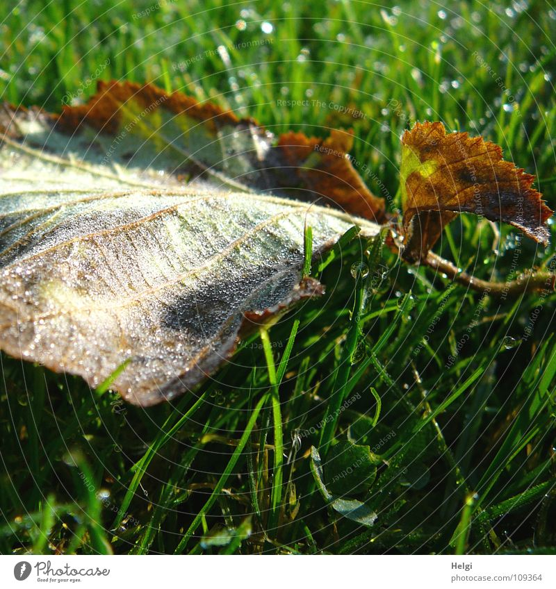 feucht und kalt... Herbst Herbstlaub Blatt fallen mehrfarbig nass Morgen Tau Stengel Gefäße Gras Wiese Halm erleuchten schimmern Klee Kleeblatt grün braun weiß