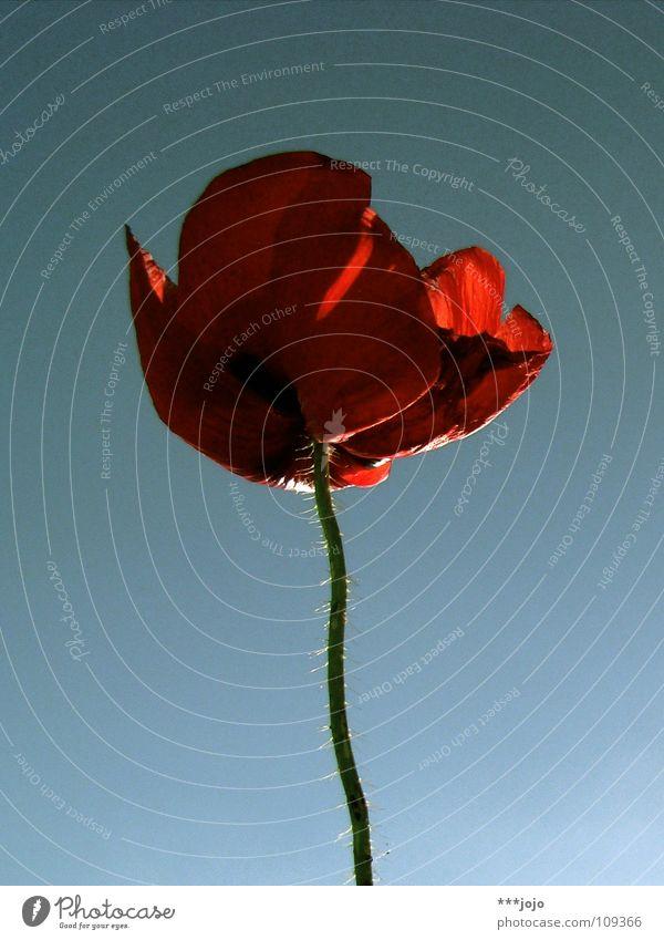 mohnoton. Natur schön Blume blau Pflanze rot Sommer Wiese Blüte Frühling Garten Wärme Feld Wachstum Physik Blühend