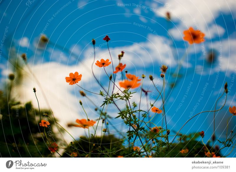 blue / orange Himmel Schmuckkörbchen sky cloudy flower light atmosphere air