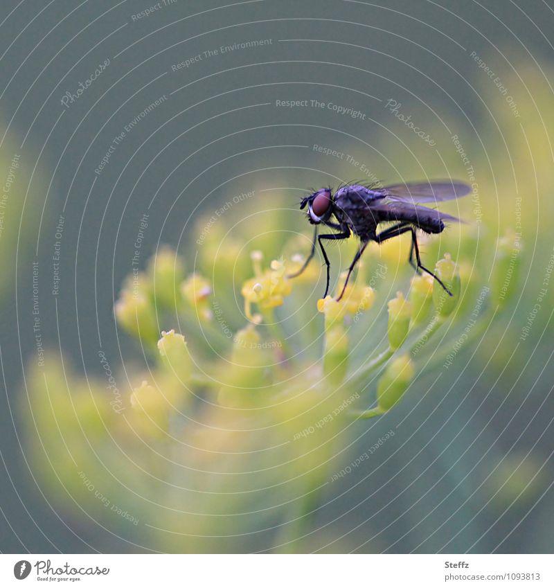 Langbeiner auf der Dillblüte Leichtigkeit Fliege haarige Fliege Facettenauge Fliegenbeine Fliegenauge langbeinig krabbeln Landleben ländlich sommerlich Bio