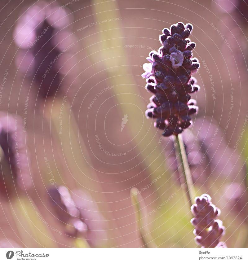 eine Prise Lavendel Natur Pflanze Sommer Blume Blühend Romantik violett Duft Nutzpflanze Heilpflanzen Wildpflanze hellgrün Sommerblumen Sommergefühl
