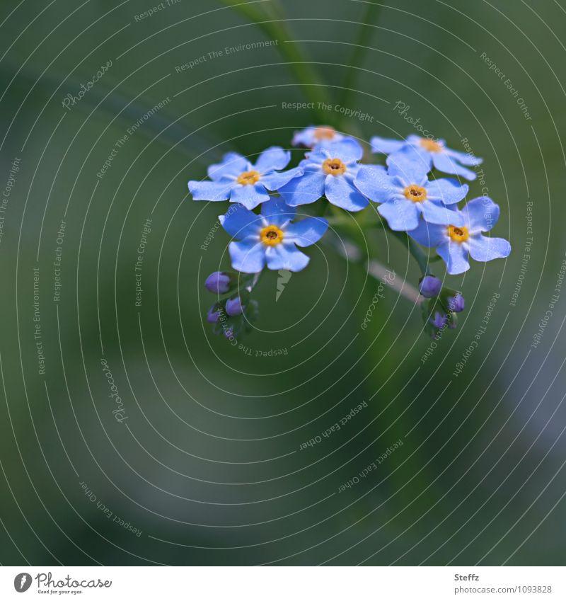 nix vergessen Natur blau Pflanze grün Sommer Blume Blüte Blühend Romantik Erinnerung Blütenblatt Treue Blütenpflanze Wildpflanze erinnern Vergißmeinnicht