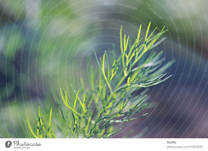 junge Karotte wächst im Garten Möhrengrün Gemüse Gartengemüse Bio Bioprodukt Gemüsegarten vegan vegetarisch gesund frisch aus dem Garten Frühlingsgemüse