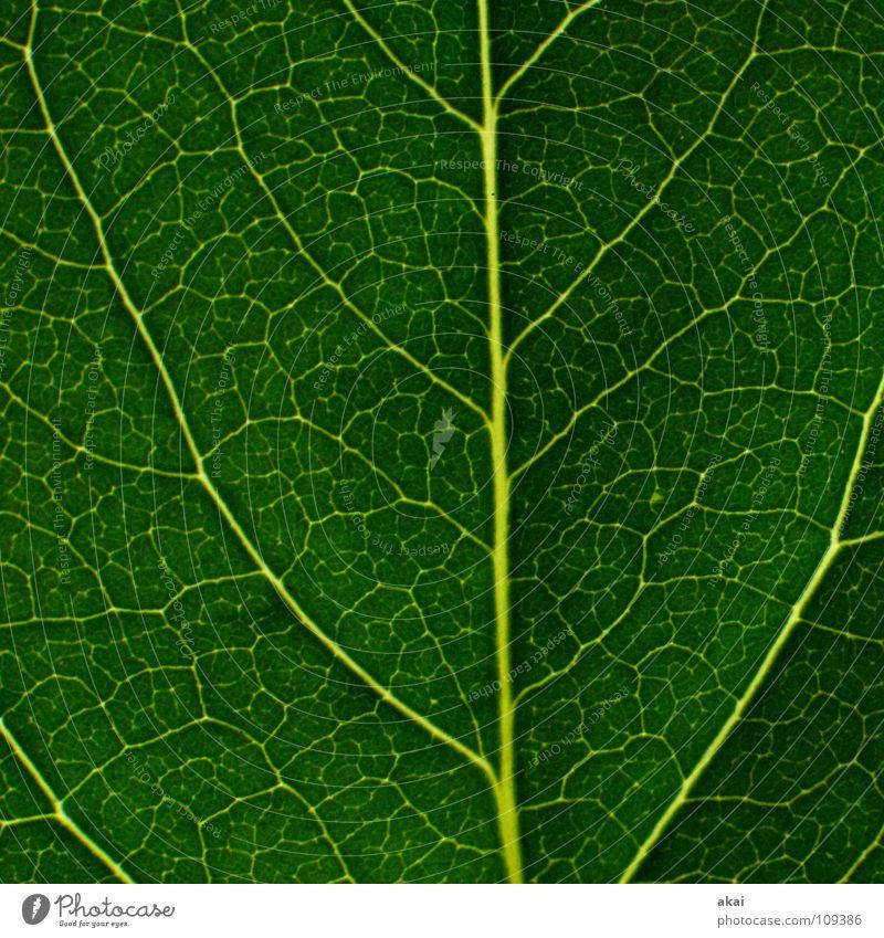 Das Blatt 23 Pflanze Urwald Südamerika Wildnis grün Botanik Pflanzenteile Kletterpflanzen pflanzlich Umwelt Sträucher krumm Gewächshaus Sommer himmelblau Blume