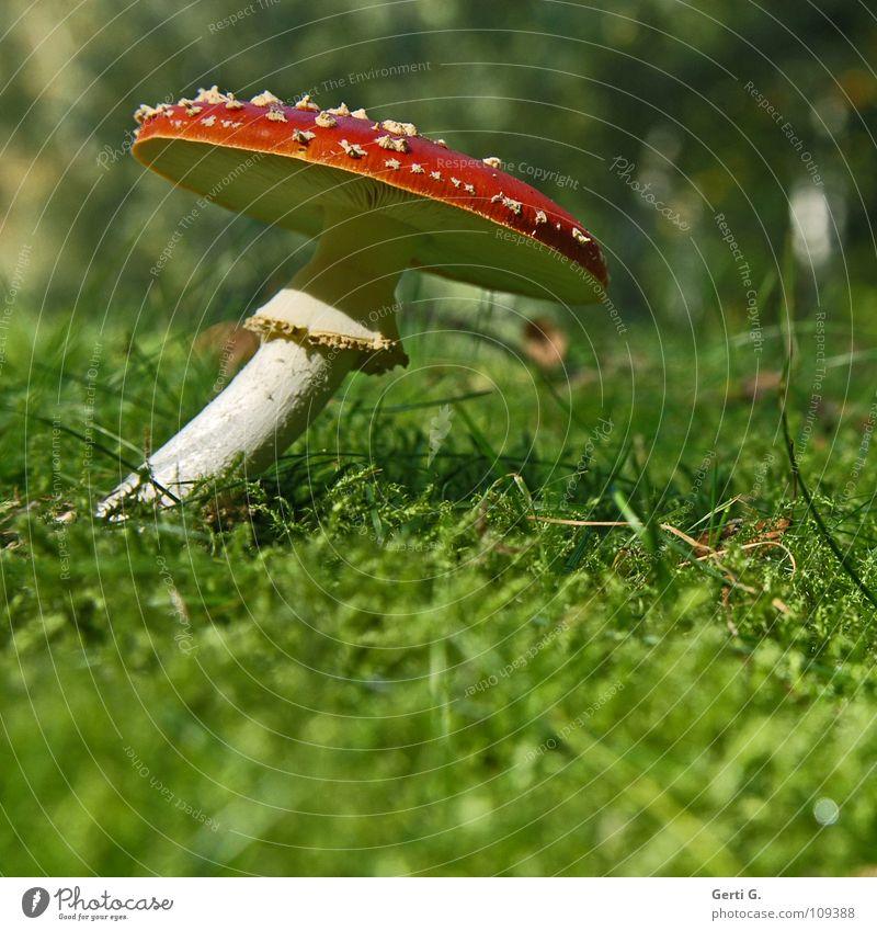 anschmiegsam beweglich Fliegenpilz Waldboden Herbst Gift Flocke Rauschmittel Symbole & Metaphern stehen Wachstum grün Sonnenlicht gekrümmt Biegung krumm Gras