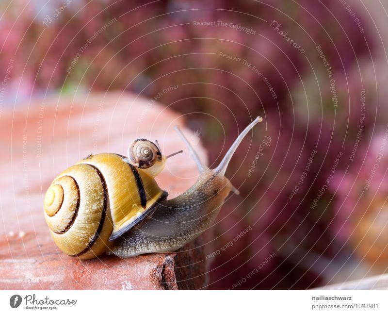 Gebänderte Schnirkelschnecke Haus Tier klein außergewöhnlich Garten Körper groß nah Spirale krabbeln Verschiedenheit Gegenteil langsam Weichtier schleimig