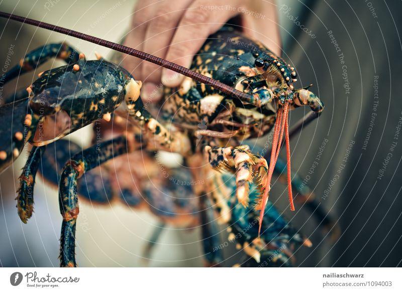 Hummer Lebensmittel Meeresfrüchte Ernährung Bioprodukte Vegetarische Ernährung Diät Mann Erwachsene Hand Tier einfach frisch groß natürlich braun rot Sicherheit