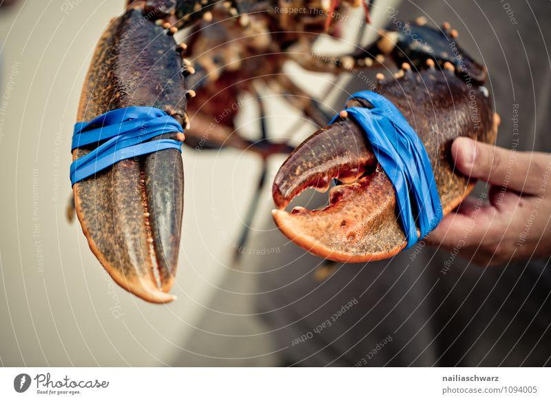 Frischer lebender Hummer Lebensmittel Meeresfrüchte Ernährung Bioprodukte Mann Erwachsene Hand Tier Wildtier Schere 1 frisch groß lecker natürlich schön blau