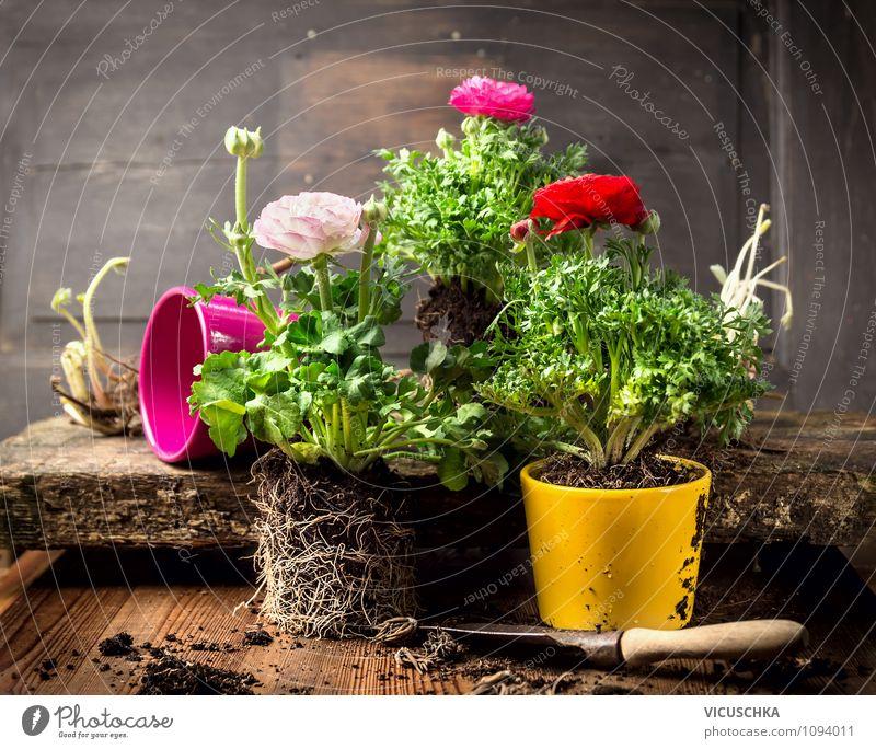 Ranunkeln Blumentöpfe Natur alt Pflanze Sommer Innenarchitektur Frühling Stil Holz Freiheit Garten Freizeit & Hobby Design Dekoration & Verzierung Tisch
