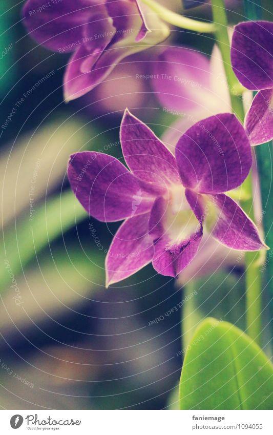 lila Natur Pflanze Sommer Blume Orchidee Blatt Blüte exotisch Dekoration & Verzierung schön violett Blütenpflanze Blütenkelch grün Stengel Gedeckte Farben