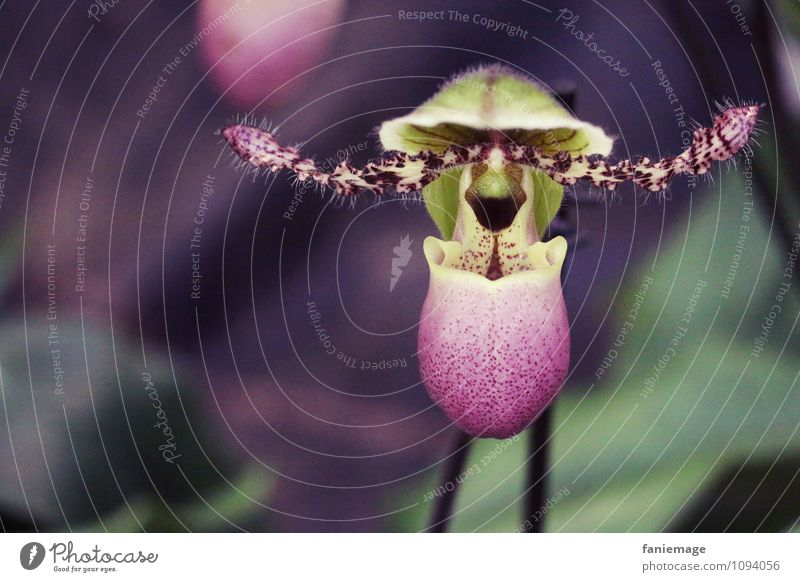ausgefallen Pflanze schön grün Blume dunkel Blüte lustig außergewöhnlich Mode Behaarung Blühend violett exotisch Sammlung bizarr Horn