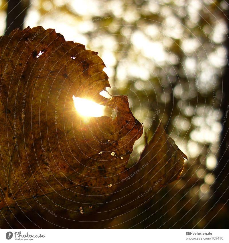 herbstlich(T) Herbst Blatt Licht Wald Beleuchtung blenden welk kalt mehrfarbig braun fallen Rascheln Silhouette Unschärfe Loch herbstsonne Sonne getrocknet