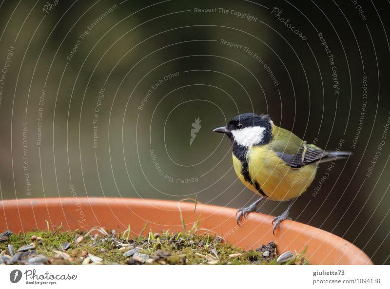 Frau Meise beim Frühstück Natur schön Tier schwarz gelb Frühling Glück klein Garten Vogel Wildtier sitzen warten beobachten niedlich Neugier
