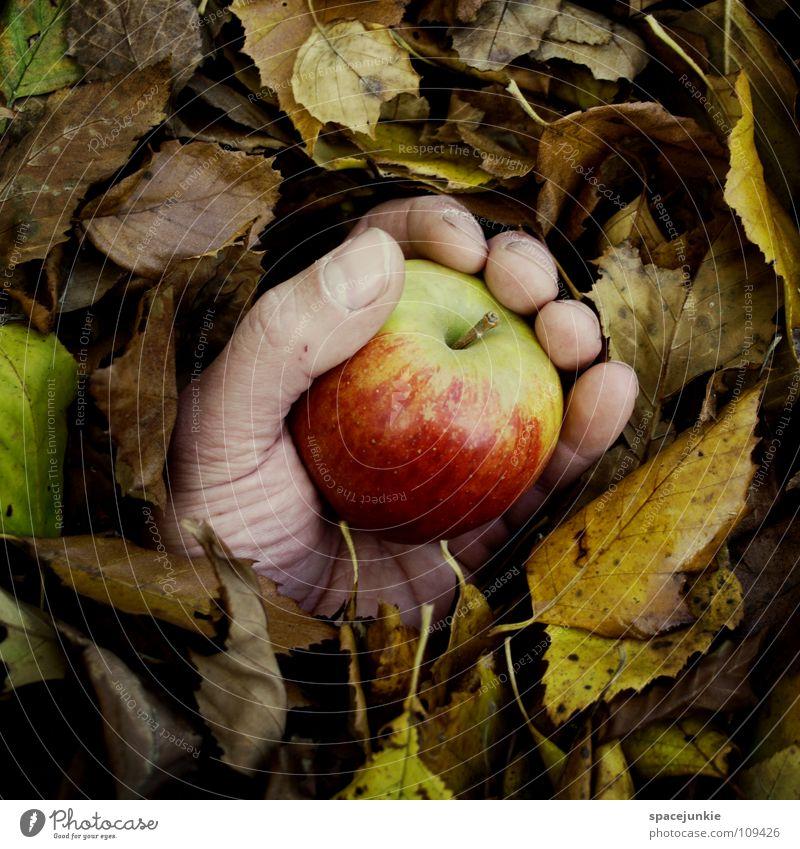 Späternte Hand alt Baum Freude Blatt Wald Herbst Frucht Apfel fangen festhalten Jahreszeiten Ernte skurril Herbstlaub herbstlich