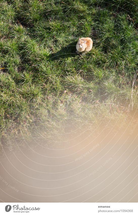 Katze im Gras grün Erholung Einsamkeit Landschaft Tier Ferne Wiese Freiheit Garten hell oben Angst sitzen warten