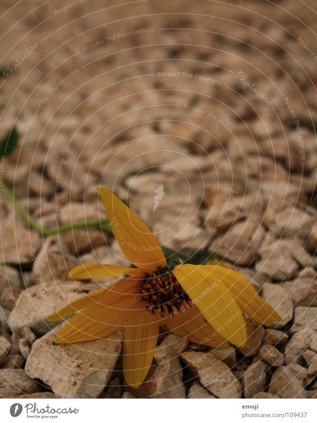 Sommerende Blume gelb Pflanze Bürgersteig Spaziergang Makroaufnahme Unschärfe Physik heiß Nahaufnahme orange flower Natur Stein Wege & Pfade stone stones way
