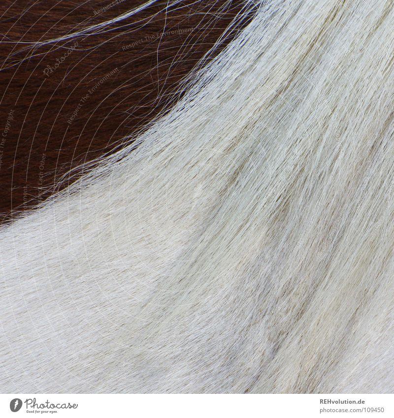 eine ecke dunkles weiß Tier Haare & Frisuren braun Brücke Pferd Sauberkeit Fell Teilung Seite Hals Sportveranstaltung Pony Konkurrenz scheckig Mähne