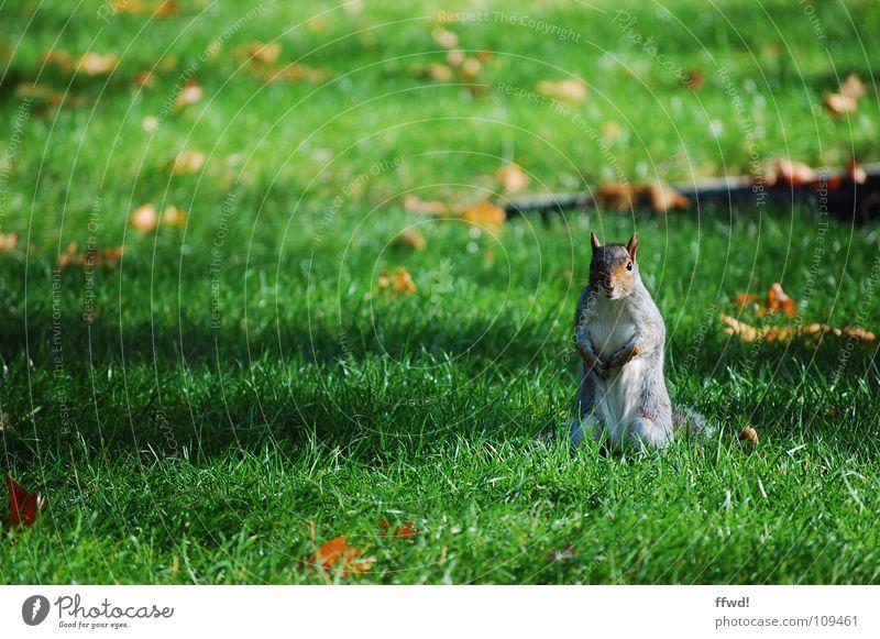 kleiner Racker Baum Blatt Tier Herbst Wiese Garten Park süß Ast Neugier niedlich Wachsamkeit Säugetier Eichhörnchen Nagetiere