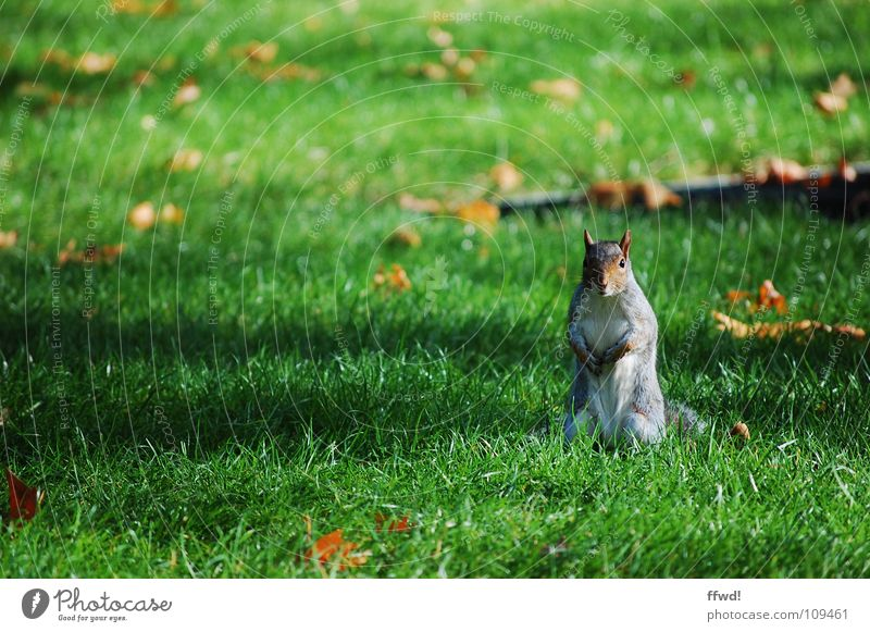kleiner Racker Eichhörnchen Park Wiese Herbst Blatt Baum süß niedlich Tier Nagetiere Neugier Wachsamkeit Säugetier Garten squirrel Ast Männchen machen