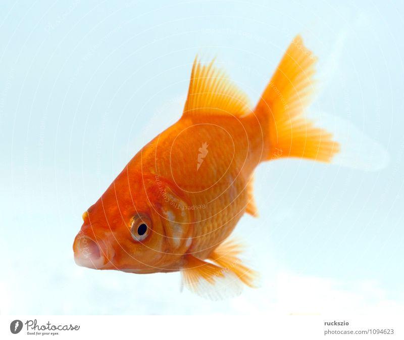 Goldfisch, Carassius gibelio, Suesswasserfisch Natur Tier Wasser frei rot weiß Carassius auratus Zuchtform des Karpfen Fisch Zierfische heimischen Gewaessern