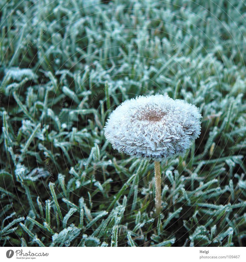 schockgefrostet.... Herbst Winter gefroren Raureif Eiskristall Baseballmütze Stengel Wiese Gras vertikal stehen kalt frieren schimmern Morgen grün braun weiß