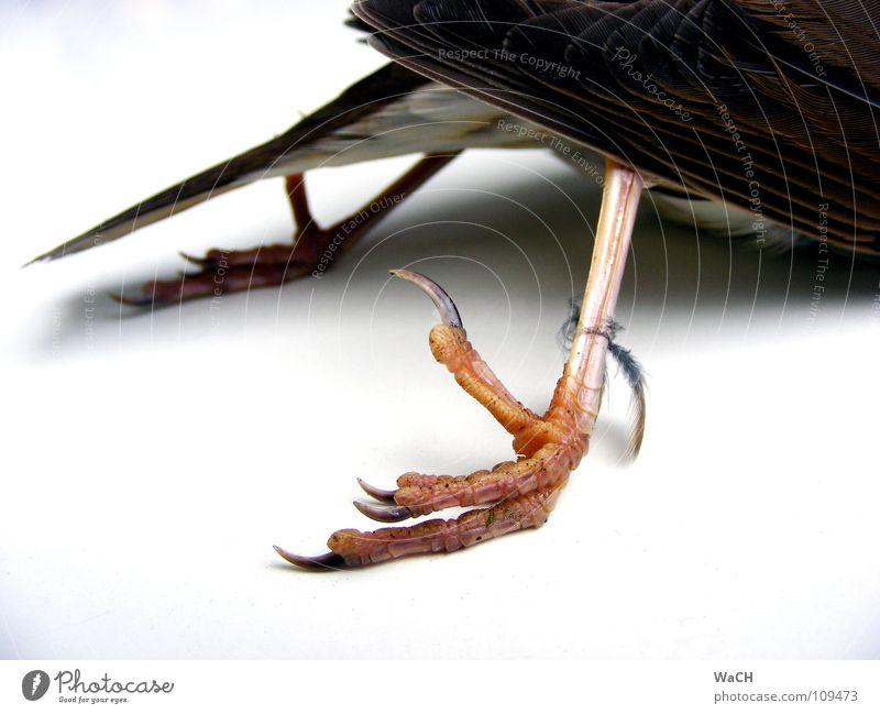 Krähenfüße Vogel Krallen liegen Unendlichkeit Flaum Hinterbein Zugvogel Feder Schwanzfedern Farbfoto Studioaufnahme Tag Kunstlicht Hinterteil
