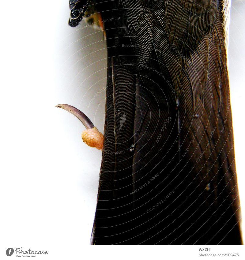 Wassertropfen auf des Schwanzes Federn Vogel Krallen Tropfen liegen Unendlichkeit Krähe Hinterbein Zugvogel Schwanzfedern Farbfoto Studioaufnahme Tag Kunstlicht
