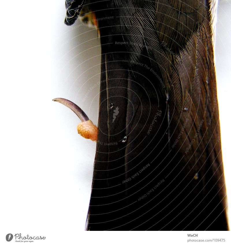 Wassertropfen auf des Schwanzes Federn Vogel Wassertropfen Tropfen Feder liegen Unendlichkeit Krallen Krähe Zugvogel Hinterbein