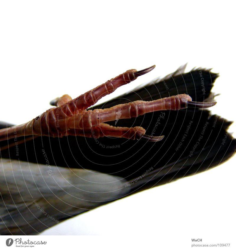 Vogelfrei Krallen liegen Krähe Nagel Flaum Hinterbein Zugvogel Feder Schwanzfedern Farbfoto Studioaufnahme Tag Kunstlicht Hinterteil