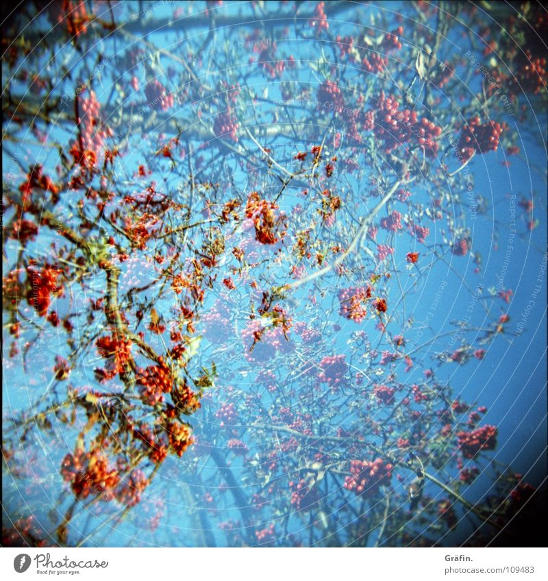 Rote Beeren Sträucher Herbst Winter Vogelbeeren rot klein 2 Holga Cross Processing essbar Gift Reifezeit gewachsen laublos Lomografie Garten Park Zweig Ast blau