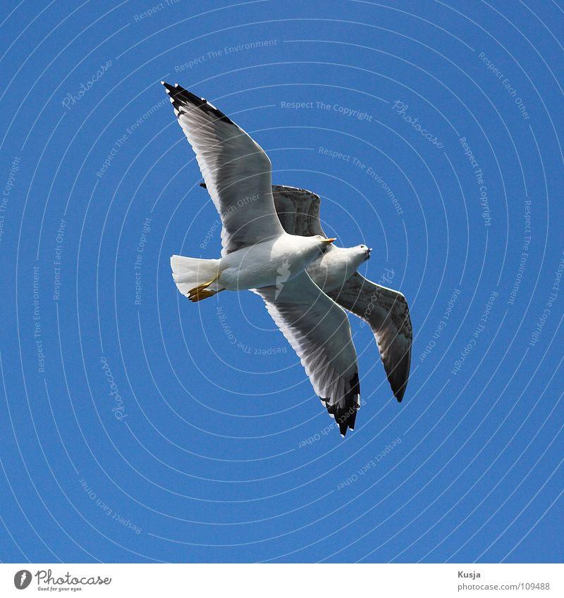 Pärchen Himmel blau weiß Freiheit Luft Vogel Zusammensein Tierpaar fliegen frei paarweise Flügel Frieden Schweben Möwe Blauer Himmel