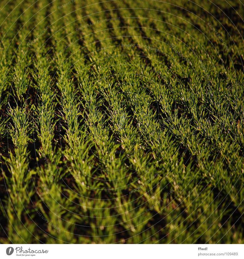 Sprießgesellschaft Feld Pflanze Glätte grün saftig satt frisch sprießen Wachstum Reifezeit gedeihen Landwirtschaft Aussaat Erde Sand Ernte Strukturen & Formen