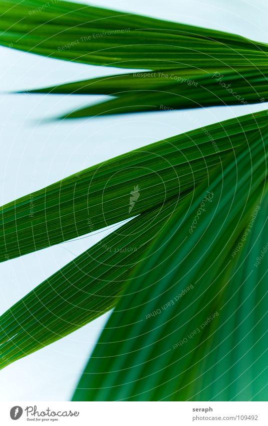Cocos nucifera Pflanze grün Hintergrundbild Linie Wachstum Dekoration & Verzierung Palme Blattadern Blattgrün Furche Biegung Topfpflanze Zimmerpflanze gekrümmt Kokosnuss Palmenwedel