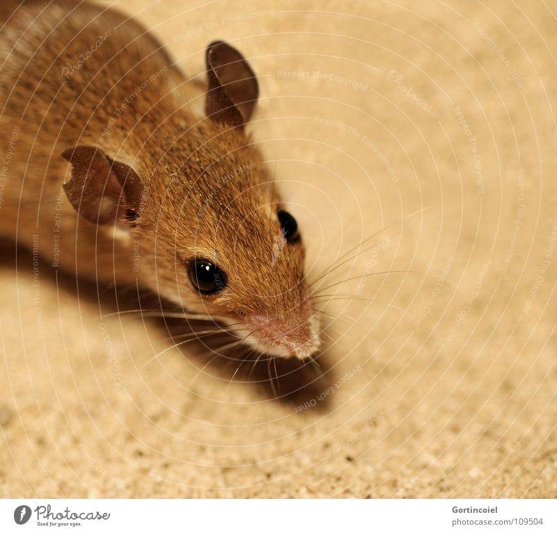 Mus Minutoides Auge Tier braun klein Tiergesicht Fell niedlich Maus Säugetier Haustier Nagetiere Schnurrhaar winzig angefressen Knopfauge Vor hellem Hintergrund