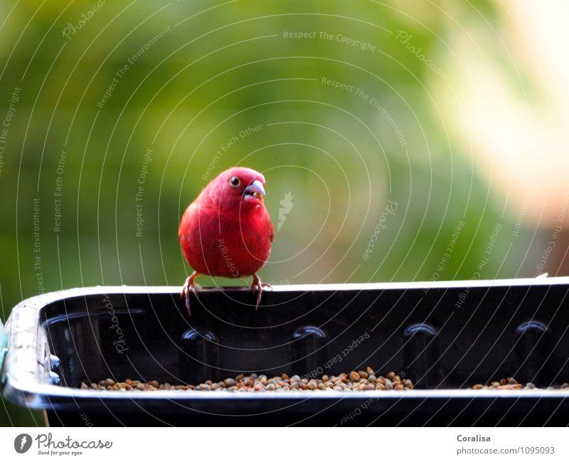 Plapperfink Natur grün Sommer Erholung rot ruhig Tier schwarz Gesundheit lachen klein Vogel ästhetisch warten niedlich Neugier