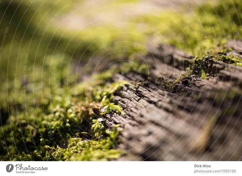 Rinden-Moos Umwelt Natur Pflanze Baum Wildpflanze Wald Holz Beginn Wachstum Wandel & Veränderung zartes Grün Lebensraum Baumrinde Flechten beleben biologisch