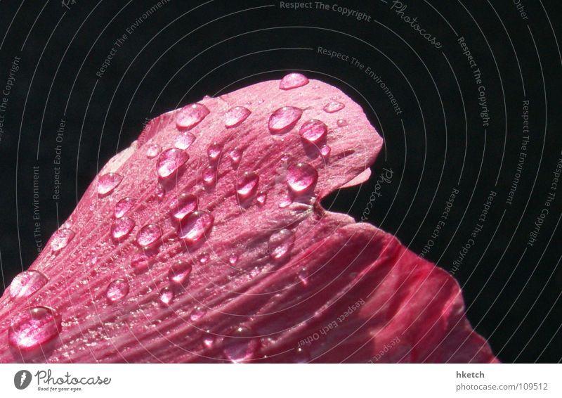 Rose tint my world... rosa rot nass Blume Blüte Regen Wassertropfen Tränen