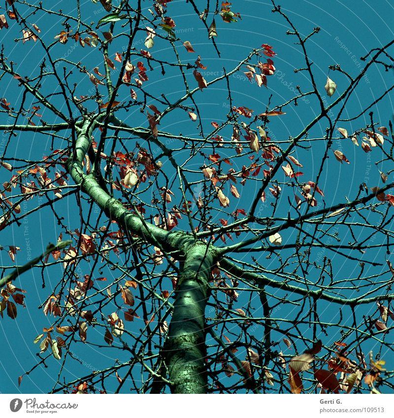 TraumBaum Herbst Blatt Herbstlaub himmelblau Laubbaum Physik mehrfarbig grün alt morsch Vergänglichkeit Kirschbaum kirschbaumblätter herbstlich petrol Himmel