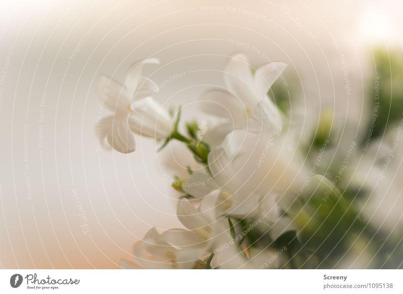 Blümchen Natur Pflanze Frühling Blume Blüte Blühend klein grün weiß elegant Wachstum zart zerbrechlich Farbfoto Detailaufnahme Makroaufnahme Menschenleer Tag