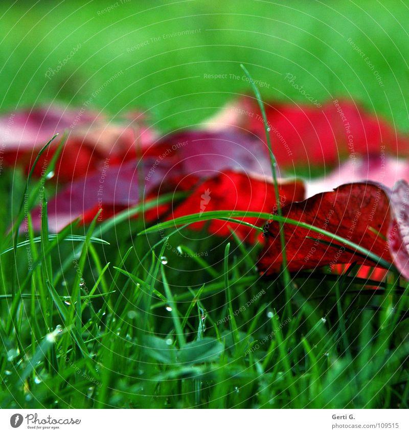 son Herbstbild grün rot Blatt Farbe kalt Wiese Gras Regen Seil nass Wassertropfen frisch Rasen Vergänglichkeit feucht