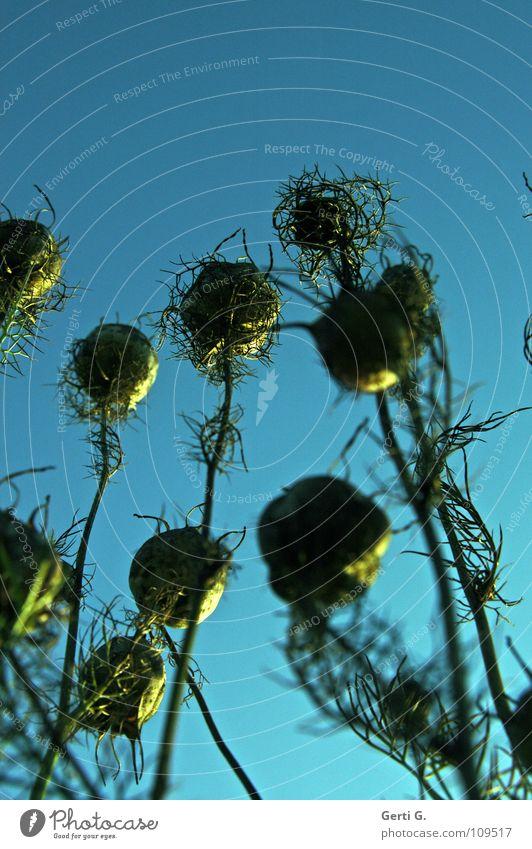 capsules grün blau Pflanze Blume gelb Herbst hoch Sträucher Vergänglichkeit dünn lang Stengel Samen stachelig verblüht herbstlich