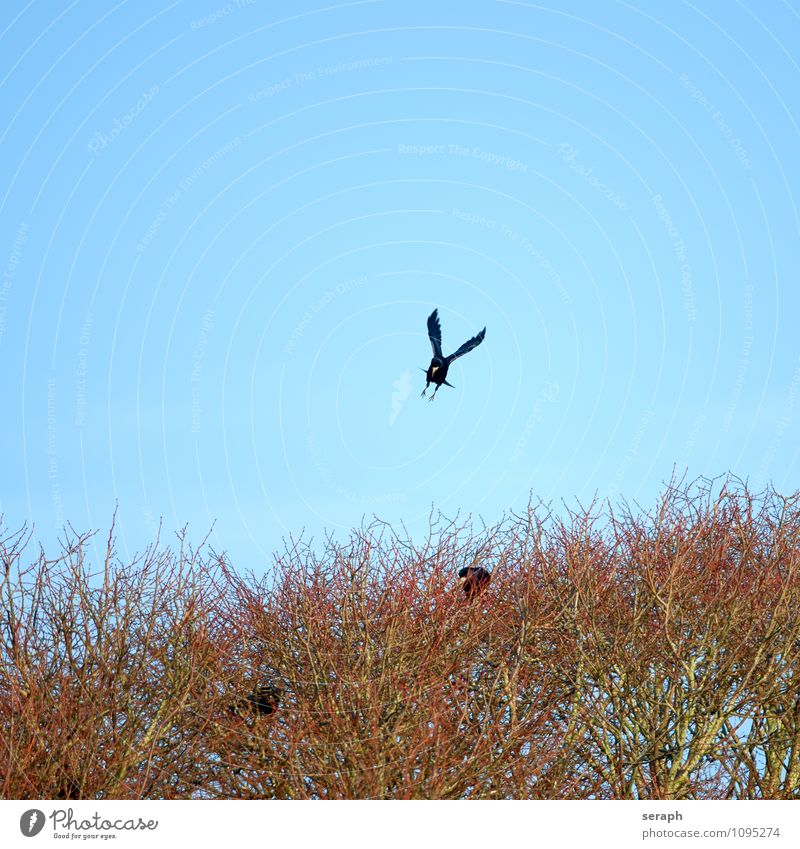 Landeanflug Tier Vogel Flügel Feder Rabenvögel Krähe Natur Baum Ast Zweig aussruhen fliegen Umweltschutz Baumkrone Wald Nestbau Gebäude Frühling Ornithologie