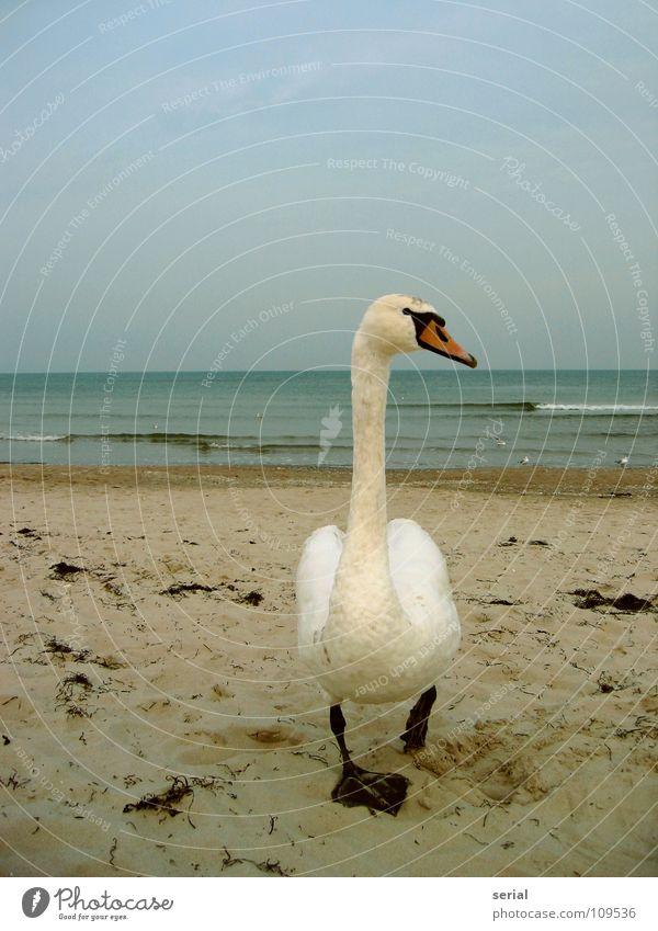 getting 2 close Schwan Strand Wellen Brandung Schnabel Vogel gefährlich Defensive schlechtes Wetter Blick Küste Sand nah bedrohlich Wasser Feder Außenaufnahme