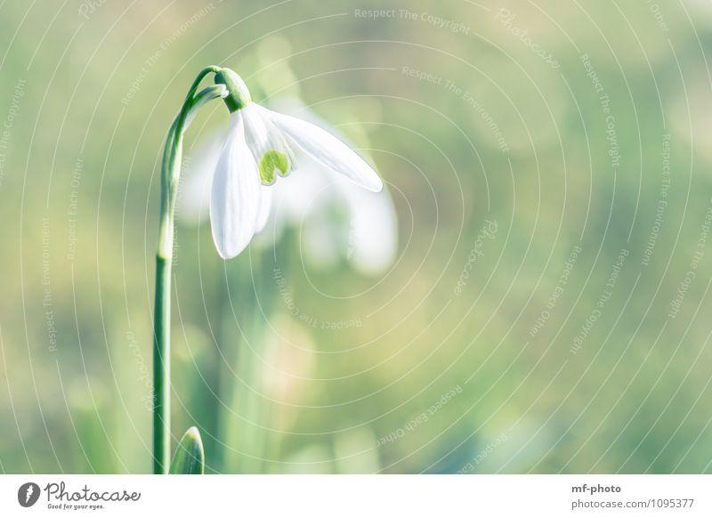Schneeglöckchen Natur Pflanze grün weiß Blume Frühling