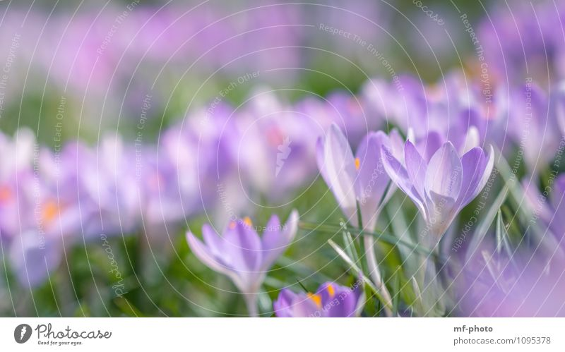 KROKUS Natur Pflanze grün Blume Wiese Gras Garten rosa Park violett Grünpflanze Krokusse
