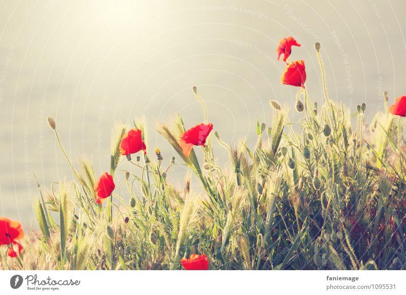 coquelicot Natur schön grün Sonne rot Umwelt Wiese Küste Blüte Frühling Feld wild gold Schönes Wetter Hügel Mohn