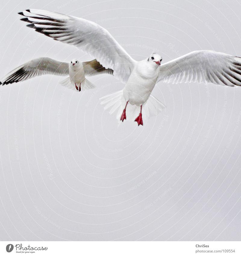 Doppelflieger : Silberkopfmöwe ( Larus novaehollandia ) Himmel weiß Meer Tier Wolken schwarz Herbst grau See Vogel fliegen Möwe Federvieh Cuxhaven