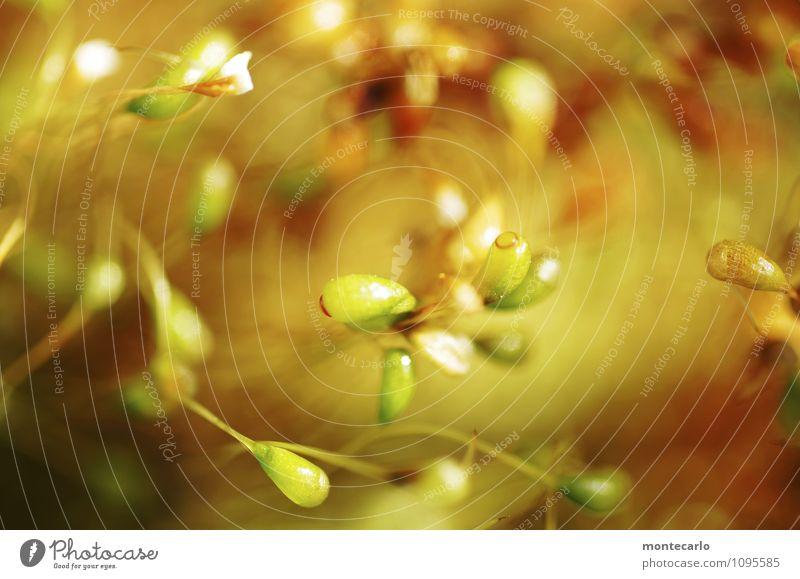 schwindelig | moostanz Umwelt Natur Pflanze Moos Blüte Grünpflanze Wildpflanze dünn authentisch einfach frisch klein nah natürlich rund wild weich mehrfarbig
