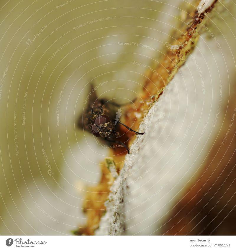 ich seh dich Umwelt Natur Baumrinde Tier Wildtier Fliege 1 Facettenauge Aggression bedrohlich dünn authentisch hässlich klein nah natürlich braun grau Farbfoto